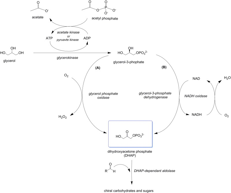 Enzymatic cascades for the conversion of glycerol to DHAP via glycerol-3-phosphate. Glycerol is converted to glycerol-3-phosphate by a glycerol kinase enzyme with concomitant regeneration of ATP by an acetate or pyruvate kinase enzyme. The glycerol-3-phopshate is then oxidized to DHAP by either an L - glycerol-3-phosphate oxidase enzyme (A) or a glycerol-3-phosphate dehydrogenase enzyme (B).