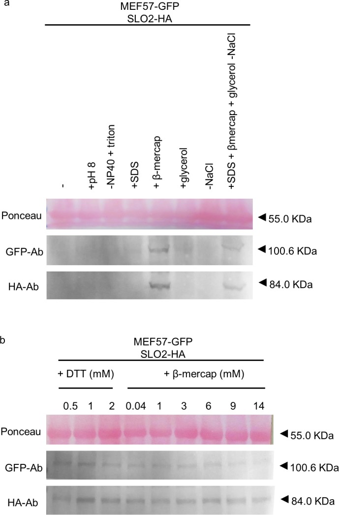 Optimization of the extraction buffer components for MEF57. Total protein extracts from N . benthamiana leaves infiltrated with SLO2-HA construct together with MEF57-GFP. The extraction buffer was complemented with 50 μM MG132 proteasome inhibitor, 1x phosphatase inhibitor, 5 mM ATP and 1 mM PMSF. The pH, the NP40 detergent and the NaCl content were modified to pH 8, 1% Triton X-100 and 0 mM NaCl (a) . 0.1% SDS, 14 mM β-mercaptoethanol and 10% glycerol were tested (a) . Several concentrations of DTT and β-mercaptoethanol were also tested (b) . Samples were analyzed by western blot, stained with Ponceau and probed with anti-HA and anti-GFP antibodies (HA-Ab and GFP-Ab, respectively). The respective molecular weights are: SLO2-HA, 84.03 kDa; DYW2-GFP, 92.56 kDa; MEF57-GFP, 100.62 kDa; and HSP60.3B-GFP, 87.42 kDa. The Ponceau membrane staining of the most intense band at 55 kDa (presumably Rubisco) was used as a loading control. Full-length blots are shown in S1 Fig . Histograms of GFP/HA-tagged protein, relative to Ponceau, are shown in S2 Fig .