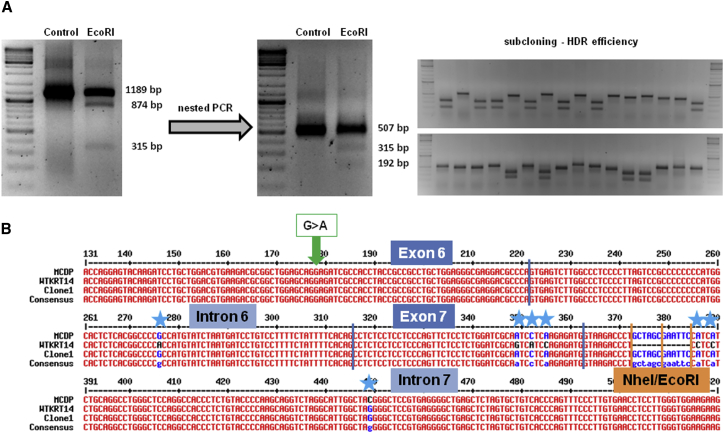 "Analysis of HDR Efficiency (A) PCR analysis of genomic DNA from CRISPR/Cas9-treated EBS hKc using a forward primer binding to exon 6 and a reverse primer binding a sequence downstream of KRT14 . To minimize the size of the PCR product and to facilitate subcloning, we performed a nested PCR using a forward primer binding to exon 6 and a reverse primer binding to intron 7, resulting in a specific product of 507 bp. An EcoRI restriction digest confirmed the presence of recombined KRT14 alleles in treated EBS cells. Upon bacterial transformation, single colonies were picked for colony PCR and amplified product digested with EcoRI to identify recombined alleles. (B) Sequence analysis of one representative single clone, containing a modified wild-type allele (green arrow: wild-type sequence at mutation site [position 178] within exon 6), is shown. The allele additionally contains the introduced restriction sites NheI/EcoRI and the silent mutations (blue stars). Sequence alignment was performed with the software ""Multiple sequence alignment with hierarchical clustering."" 21"