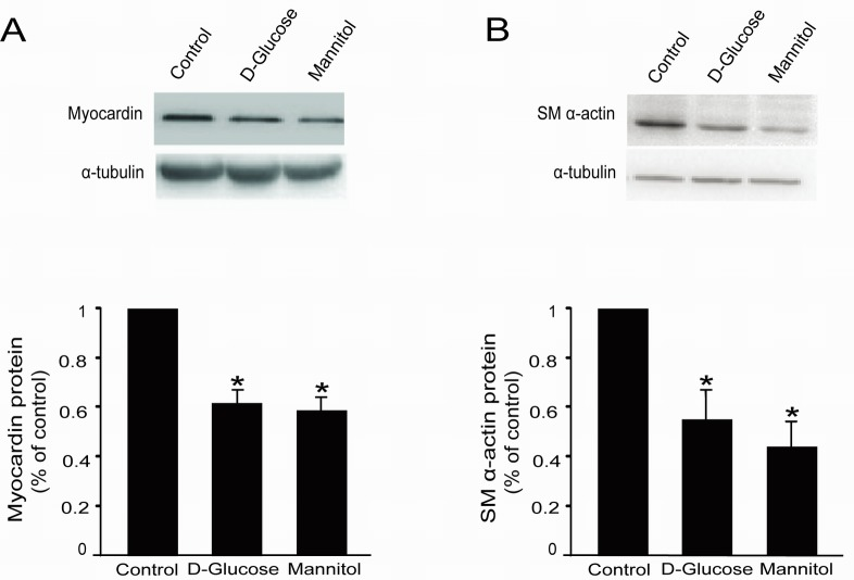 High glucose decreased myocardin and SM α-actin protein levels in rat glomerular MCs Rat MCs were rendered quiescent in low-glucose DMEM medium containing 0 % fetal bovine serum for 24 h, and then treated with or without 30 mM D-glucose or mannitol. Protein was extracted for Western blot analyses. (A) Cumulative Western blot results showing myocardin protein levels with or without 30 mM D-glucose or mannitol for 24 h. Insert: Representative Western blots of myocardin and α-tubulin. (B) Cumulative Western blot results showing SM α-actin protein levels in rat glomerular MCs with or without 30 mM D-glucose or mannitol for 24 h. Insert: Representative Western blots of SM α-actin and α-tubulin. Western blots results were normalized to α-tubulin. * P