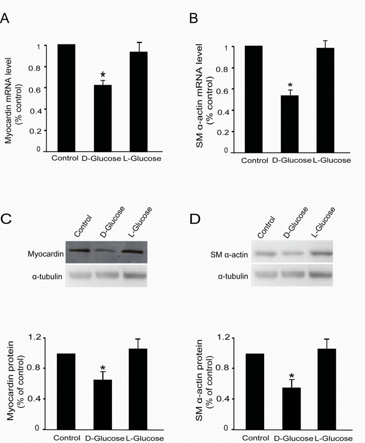 L-glucose did not regulate myocardin and SM α-actin expression Rat MCs were rendered quiescent in low–glucose DMEM medium containing 0 % fetal bovine serum for 24 h and then treated with or without 30 mM D-glucose or L-glucose. Total RNA and protein were extracted for RT-qPCR and Western blot analyses, respectively. (A) RT-qPCR data showing myocardin mRNA levels with or without 30 mM L-glucose treatment for 24 h. (B) RT-qPCR data showing SM α-actin mRNA levels with or without 30 mM L-glucose treatment for 24 h. (C) Cumulative Western blot results showing myocardin protein levels with or without 30 mM L-glucose treatment for 24 h. Insert: Representative Western blots of myocardin and α-tubulin. (D) Cumulative Western blot results showing SM α-actin protein levels with or without 30 mM L-glucose treatment for 24 h in rat glomerular MCs. Insert: Representative Western blots of SM α-actin and α-tubulin. RT-qPCR results were normalized to β-actin, and the Western blot results were normalized to α-tubulin. * P