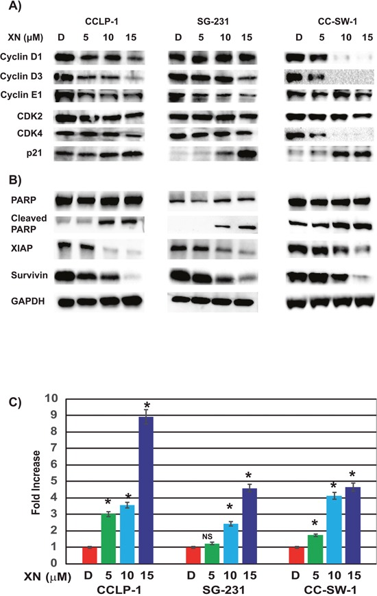 XN induces cell cycle arrest and apoptosis in CCA cell lines (A) Treatment with XN increases p21, cyclin-dependent kinase inhibitor, in all three cell lines. Key cell cycle regulators cyclin D1, Cyclin D3, Cyclin E1, and CDK2 were reduced in CC-SW-1 whereas cyclin D3 and cyclin E1 and CDK2 and CDK4 were reduced at various levels in CCLP-1 and SG-231. (B) XN-treatment induces apoptosis as evidenced by the increase in cleaved PARP in three cell lines. Furthermore, pro survival protein survivin as well as anti-apoptotic protein XIAP was reduced with XN-treatment. Glyceraldehyde 3-phosphate dehydrogenase (GAPDH) is shown as a loading control. (C) Caspase-3 and -7 activities were measured by caspase Glo3/7 assay ( * , p