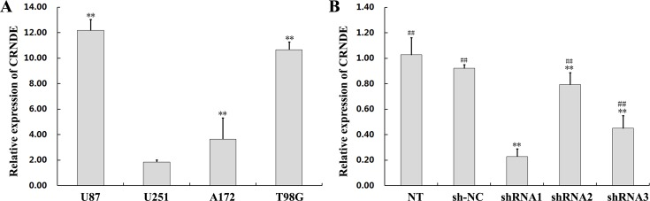 CRNDE overexpression and silencing in glioma cells (A) Assessment by qRT-PCR of CRNDE expression in four cell lines (U87, U251, A172, and T98G) compared with normal brain tissue. Data are presented as mean ± SD (n = 3, each group). ** P