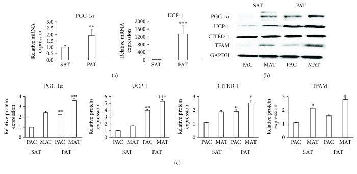 PAT expressed proteins involved in thermogenesis. (a) Samples from SAT and PAT were obtained and immediately frozen in liquid nitrogen. mRNA was extracted and the detection of <t>PGC-1</t> α and UCP-1 was performed by qPCR. (b) Precursor adipose cells (PAC) from SAT and PAT were induced to differentiate into mature adipocytes (MAT), and proteins were extracted to quantify the levels of PGC-1 α , UCP-1, CITED1, and <t>TFAM</t> by Western blotting. (c) Relative intensity of the protein bands was determined by densitometry. Data were normalized to the housekeeping protein GAPDH and expressed as means ± SD ( n = 4). ∗ p