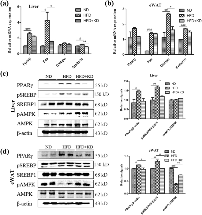 The expression of lipogenic genes in liver and adipose tissues. ( a ) mRNA expression levels of Pparg(Ppar γ ) , Fas , C/ebpα and Srebp1c in liver. ( b ) mRNA expression levels of Pparg , Fas , C/ebpα and Srebp1c in eWAT. ( c ) PPARγ, p-SREBP1c, SREBP-1c, p-AMPK and AMPK levels in liver. ( d ) PPARγ, p-SREBP1c, SREBP-1c, p-AMPK and AMPK levels in eWAT. Full-length blots are presented in Supplementary Figure S7 . n = 5 for each group. Significant differences between ND and HFD are indicated as ### P