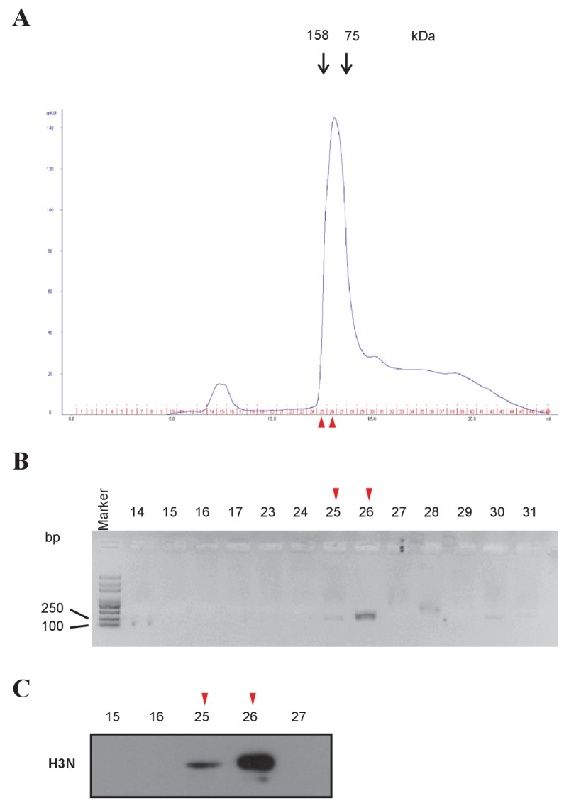 Mononucleosome preparation from H3 D /H3 H cells. ( A ) <t>Mononucleosomes</t> were prepared from H3 D /H3 H cells, and purified by fast protein liquid chromatography. Molecular standards are labeled above the elution profile. ( B ) Fractions around the peak fractions (No. 14 to 31) were collected and denatured. The length of DNA was analyzed in a 2% agarose gel. Size markers are on the left. ( C ) Histone H3 in the fractions (labeled on top) was examined by western blotting using the anti-H3 N-terminal antibody. Fraction 26 was selected as mononucleosomes for further experiments.