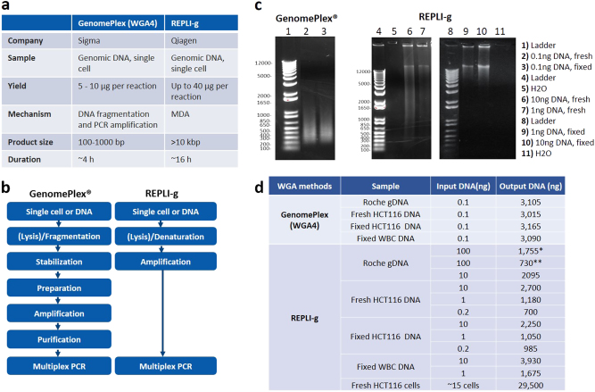 Whole genome amplification by using GenomePlex (WGA4) and <t>REPLI-g.</t> a Comparison of two whole genome amplification methods: GenomePlex (WGA4) and REPLI-g. b Workflow of GenomePlex (WGA4) and REPLI-g kits. c Whole Genome Amplified DNA products. GenomePlex (WGA4) or REPLI-g WGA was performed on DNA from both fresh and fixed HCT116 cells following the vendor's manuals. The amplified DNA was checked using agarose gel electrophoresis. d DNA yield comparison. GenomePlex (WGA4) or REPLI-g WGA was performed on both fresh and fixed HCT116 cells following the vendor's manuals. The amplified DNA amount was measured using the Qubit. (*: standard protocol. **: increased DNA volume protocol)