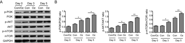 Ozone oil activated the PI3K/Akt/mTOR signaling pathway ( A ) Western blotting results show that the expression of important proteins for PI3K/Akt/mTOR signaling pathway is increased in the fibroblasts. Ozone oil further increases the expression of these proteins. ( B ) Summary of Western blotting results. Error bars represent the mean ± S.D.; * P