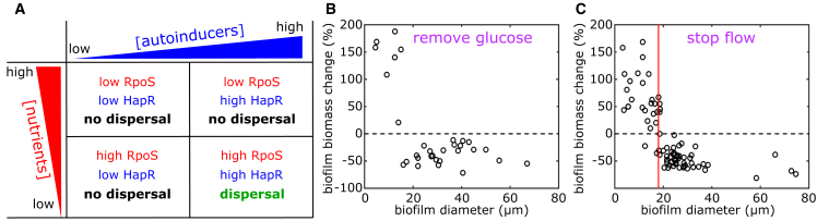 Integrating Nutrient and Autoinducer Sensing Yields Fine-Tuning of Biofilm Dispersal Decisions (A) By monitoring both nutrient supply and autoinducer concentration, V. cholerae cells can have four qualitatively different combinations of HapR and RpoS levels. This qualitative model predicts that a dispersal response is restricted to biofilms that are sufficiently large that a loss of flow or nutrient supply poses an immediate threat to cell viability. (B) Change in biofilm biomass as a function of biofilm size after glucose is removed from the flowing medium. (C) Change in biofilm biomass as a function of biofilm size after flow is halted. The biofilm size threshold for dispersal is accurately predicted by a mathematical model (red line), based on a calculation of the biofilm size that yields nutrient depletion after stopping the flow.