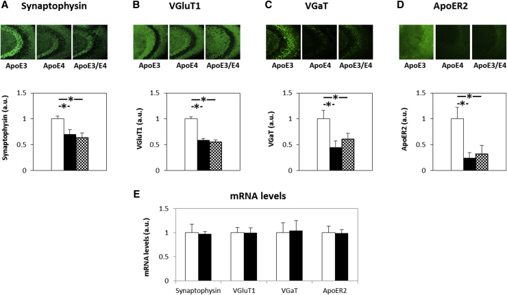 The effects of apoE genotype on the levels of the synaptic marker synaptophysin, VGluT1, VGaT, and ApoER2 in α-syn–deficient female mice. Brains of apoE3, apoE4 homozygous, and apoE3/E4 heterozygous female mice were subjected to histologic staining with anti-synaptophysin (A), anti-VGluT1 (B), anti-VGaT (C), and anti-ApoER2 (D) Abs. Representative images (20 ×magnification) of the CA3 hippocampal subfield are presented in the upper part of each panel and show reduced levels in both apoE4 and apoE3/E4 mice compared with apoE3 mice. The results (mean ± SEM; n = 7–10 per group) of apoE3 mice (white bars), apoE4 mice (black bars), and apoE3/E4 (checkered bars) were quantified by computerized image analysis. qRT-PCR of the synaptic parameters (E) show no difference between apoE genotypes in the mRNA expression levels. The results shown were all normalized relative to control apoE3 mice (mean ± SEM; n = 4 per group). Abbreviations: Abs, antibodies; apoE, apolipoprotein E; α-syn, α-synuclein; mRNA, messenger RNA; SEM, standard error of the mean. ∗ P