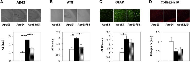 The effects of apoE on the levels of Aβ42, phosphorylated tau, glial, and vascular marker genotype in α-syn–deficient female mice. Brains of apoE3, apoE4 homozygous, and apoE3/E4 heterozygous female mice were subjected to histologic staining with anti-Aβ42 (A), anti-AT8 mAb (B), which specifically recognizes the phosphorylated Ser202/Thr205 tau epitope, anti-GFAP (C), and anti-collagen IV (D) Abs. Representative images (10 ×magnification) of the CA3 hippocampal subfield are presented for Aβ42, AT8, and GFAP, whereas the collagen IV staining and analysis were performed in the stratum lacunosum molecular area of the hippocampus. The results (mean ± SEM; n = 7–10 per group) of apoE3 mice (white bars), apoE4 mice (black bars), and apoE3/E4 (checkered bars) were quantified by computerized image analysis as described in Section 2 . As seen, the AD-related phenotypes of the apoE4 mice, namely, high levels of Aβ42, tau phosphorylation, and the glial marker GFAP, are not present in the heterozygous mice. The results shown are normalized relative to control apoE3 mice. In contrast, the levels of the vascular marker collagen IV are reduced in both apoE4 and apoE3/E4 mice. Abbreviations: Abs, antibodies; apoE, apolipoprotein E; α-syn, α-synuclein; SEM, standard error of the mean. ∗ P ≤.05 for the effect of genotype on the levels of the markers.