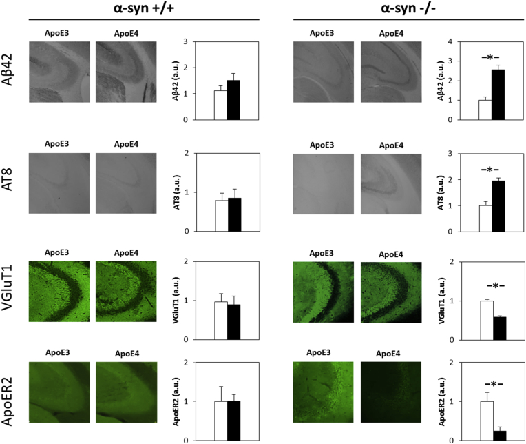 The effects of apoE genotype on the levels of Aβ42, phosphorylated tau, VGluT1, and ApoER2 in α-syn expressing and α-syn–deficient female mice. Brains of apoE3 and apoE4 homozygous female mice that express normal levels of α-syn (left panel) or are α-syn–deficient (right panel) were subjected to histologic staining with anti-Aβ42, anti-AT8 mAb, which specifically recognizes the phosphorylated Ser202/Thr205 tau epitope, anti-VGluT1, and anti-ApoER2 Abs, as described in Section 2 . The results (mean ± SEM; n = 5–9 per group) of apoE3 mice (white bars) and apoE4 mice (black bars) were quantified by computerized image analysis and are presented relative to the apoE3 mice of the corresponding α-syn background. This revealed that in α-syn+/+ mice, unlike the α-syn−/− mice, no statistically significant difference between apoE3 and apoE4 mice was observed. Abbreviations: Abs, antibodies; apoE, apolipoprotein E; α-syn, α-synuclein; SEM, standard error of the mean. ∗ P