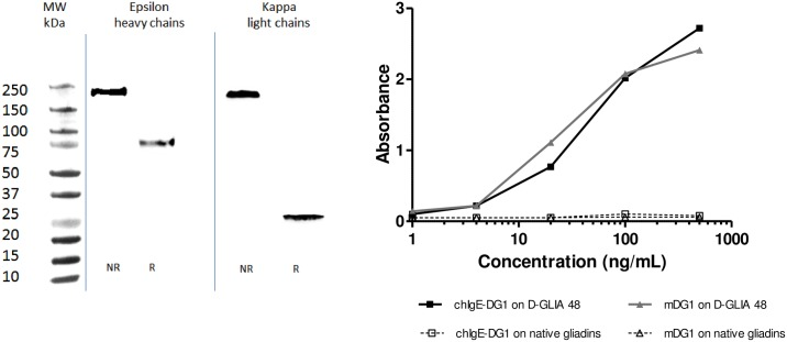 Characterization of chimeric mouse/human <t>IgE-DG1.</t> Chimeric mouse/human IgE-DG1 was transiently expressed in HEK293 cells, and the IgE concentrations were determined by ELISA. A. Non-reduced (NR) or reduced (R) proteins from the supernatant of transfected HEK293 cells were separated by SDS-PAGE (12%) and transferred onto nitrocellulose membrane. IgE heavy and kappa light chains were detected by peroxidase-conjugated anti-human epsilon heavy chains or by anti-human kappa light chains, respectively, prior to chemiluminescent visualization. B. The activity and specificity of chimeric IgE-DG1 and its mouse monoclonal <t>IgG</t> counterpart (mDG1) were compared by indirect ELISA. Native gliadin- or deamidated gliadin (D-GLIA 48) -coated ELISA plates were incubated with indicated concentrations of chimeric IgE-DG1 or mDG1.
