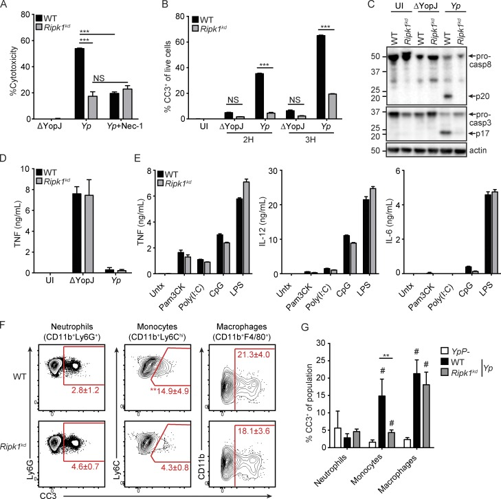 RIPK1 kinase activity is required for Yersinia -induced apoptosis. WT and Ripk1 kd BMDMs were treated with 60 µM of the RIPK1 inhibitor Nec-1 or control media and infected with YopJ-deficient (ΔYopJ) or WT ( Yp ) Y. pseudotuberculosis. (A) Cell death was measured by LDH release assay at 4 h postinfection. (B and C) Apoptotic caspase cleavage was assessed by flow cytometry staining for CC3 (B) and Western blotting of lysates (C) 2 h postinfection. Molecular mass is indicated in kilodaltons. (D and E) Supernatants of BMDMs were measured for release of TNF at 4 h postinfection (D) or for TNF, IL-12p40, and IL-6 at 6 h after treatment with TLR ligands (E). Data are representative of more than three independent experiments in A and two independent experiments in B–E. Graphs show mean and SD of triplicate experiments. (F) Splenocytes were harvested 4 h after intravenous infection with Yp and stained for the indicated cell types and CC3. (G) Percentage of WT and Ripk1 kd CC3 + spleen cells infected with Yp relative to WT mice infected with the virulence plasmid–deficient strain ( YpP − ). Flow cytometry numbers and bar graph show mean and SD ( n = 4–5 mice per group) values representative of two independent experiments. #, P