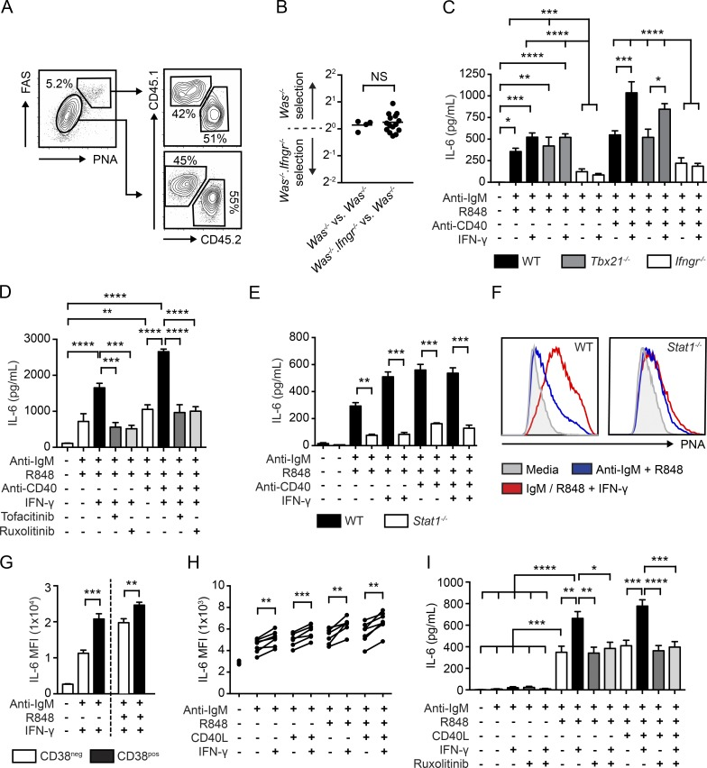 "IFN-γ synergizes with B cell activation signals to promote IL-6 production by mouse and human B cells. (A) Representative FACS plots showing CD45.1 + Was −/− versus CD45.2 + Was −/− Ifngr −/− B cells in GC and non-GC B cell compartments. (A, left) Gated on CD19 + B cells. (A, right) Gated on PNA + FAS + GC B cells (top) and PNA − FAS − non-GC B cells (bottom). Number equals percentage within gate. (B) Selection of CD45.1 + Was −/− versus CD45.2 + Was −/− Ifngr −/− B cells into the GC compartment. NS, not significant. (C) IL-6 from splenic WT (black), Tbx21 −/− (gray), and Ifngr −/− (white) B cells cultured for 48 h with anti–IgM, R848, anti–CD40 and/or IFN-γ. (D) IL-6 production by stimulated mouse B cells with or without ruxolitinib or tofacitinib (500 nM). (E) IL-6 in WT (black) and Stat1 −/− (white) B cells stimulated as indicated. (F) Surface PNA binding in WT (left) and Stat1 −/− (right) splenic B cells stimulated as indicated. (G) IL-6 intracellular staining at 72 h in cultured human B cells, gated as CD38 − CD27 − ""naïve"" (white) or CD38 + CD27 − ""GC"" (black) B cells. (H) IL-6 mean fluorescence intensity by intracellular staining in human CD38 + CD27 − B cells stimulated for 24 h. (I) IL-6 from human B cells stimulated for 72 h with or without ruxolitinib (500 nM). (B–E and G–I) Error bars indicate means ± SEM. *, P"