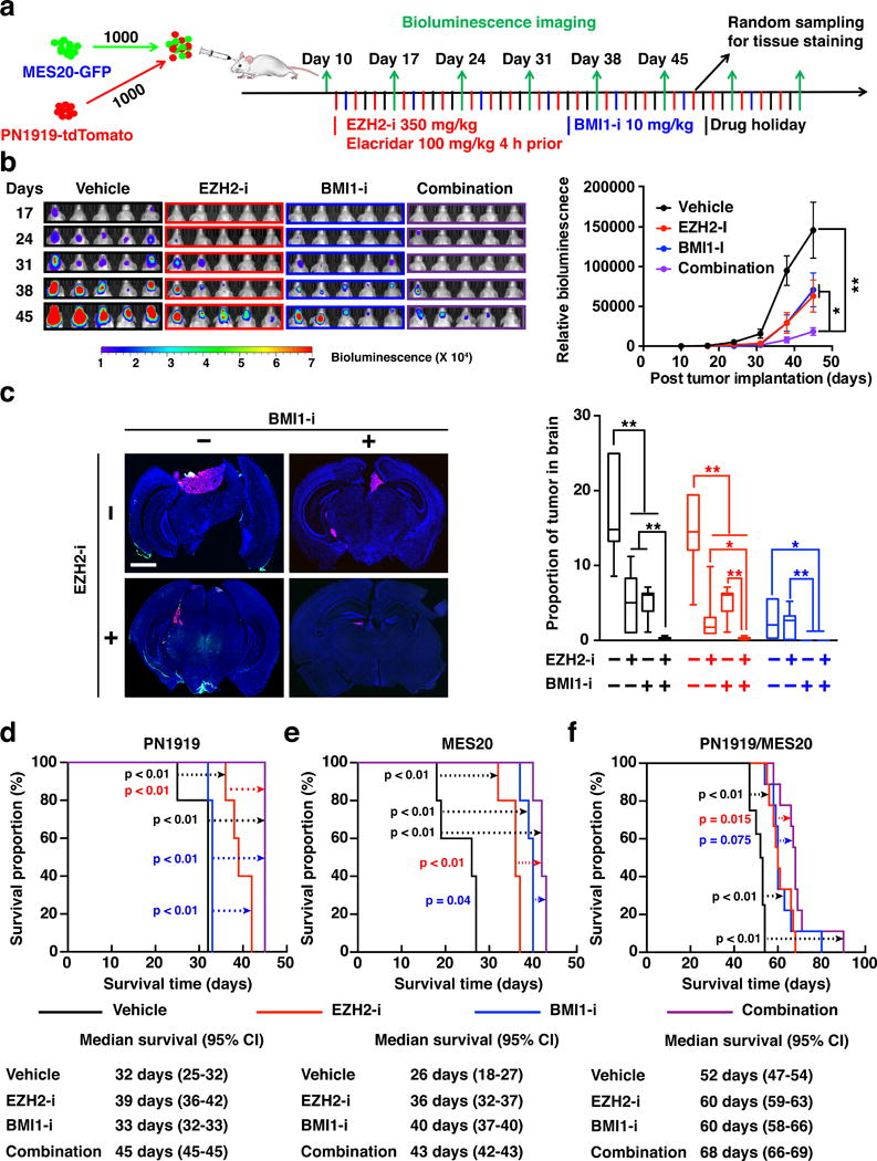 In vivo therapeutic efficacy of combined pharmacologic inhibition of BMI1 and EZH2 on subtype-mixed glioblastoma model ( a ) Experimental design for in vivo effects of BMI1 (PTC596) and EZH2 (EPZ6438) inhibitors on xenograft of mixed proneural and mesenchymal GSCs. ( b ) Bioluminescence images of mice bearing mixed proneural and mesenchymal xenografts derived from luciferase-expressing PN1919 and MES20 cells, showing the effect of combined treatment of 10 mg/kg BMI1-i per week and 350 mg/kg EZH2-i thrice weekly on tumor growth. Right panels: Quantification of bioluminescence signals during 45 days of treatment in mice implanted with luciferase-expressing PN1919 and MES20 cells. The signals were normalized to day 10 signaling intensity for each mouse ( n = 10 per group and time point). *, p
