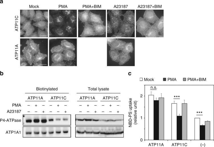 ATP11C is endocytosed by treatment with phorbol 12-myristate 13-acetate (PMA) and increasing cytosolic Ca 2+ . a HeLa cells stably expressing C-terminally HA-tagged ATP11A, and ATP11C were treated for 15 min at 37 °C with vehicle alone (Mock); with either 400 nM of PMA (PMA) or PMA and 2 μM of BIM-1 (PMA + BIM); or with 1 μM A23187 in the presence of either 1.8 mM of CaCl 2 (A23187) or 1.8 mM CaCl 2 and 2 μM BIM-1 (A23187 + BIM). The cells were fixed and immunostained with anti-HA antibody, followed by Cy3-conjugated anti-rat secondary antibody. See Supplementary Fig. 1 and Supplementary Movie 1 . b Cell-surface expression levels of ATP11A and ATP11C following treatment with PMA or A23187 and CaCl 2 were analyzed after surface biotinylation. Proteins precipitated with streptavidin-agarose beads were subjected to immunoblot analysis (left panels, biotinylated). 15% of the input of the biotinylation reaction was loaded in each lane (right panels, total lysate). Expression of ATP11A and ATP11C proteins was analyzed by immunoblotting with anti-HA and anti-ATP1A1 (as an internal control) antibodies. c HeLa cells stably expressing HA-tagged ATP11A and ATP11C, and parental cells (−) were treated with vehicle alone (white bars), 400 nM of PMA (black bars), or 400 nM of PMA and 2 μM of BIM-1, simultaneously (gray bars) for 15 min. The cells were then washed with flippase assay buffer and incubated with NBD-PS at 15 °C for 5 min. After extraction with fatty acid-free BSA, the residual fluorescence intensity associated with the cells was determined by flow cytometry. Fold increase of NBD-PS uptake is shown relative to that in Mock-treated parental HeLa cells (−). Graph displays averages from four independent experiments ± SD. *** p