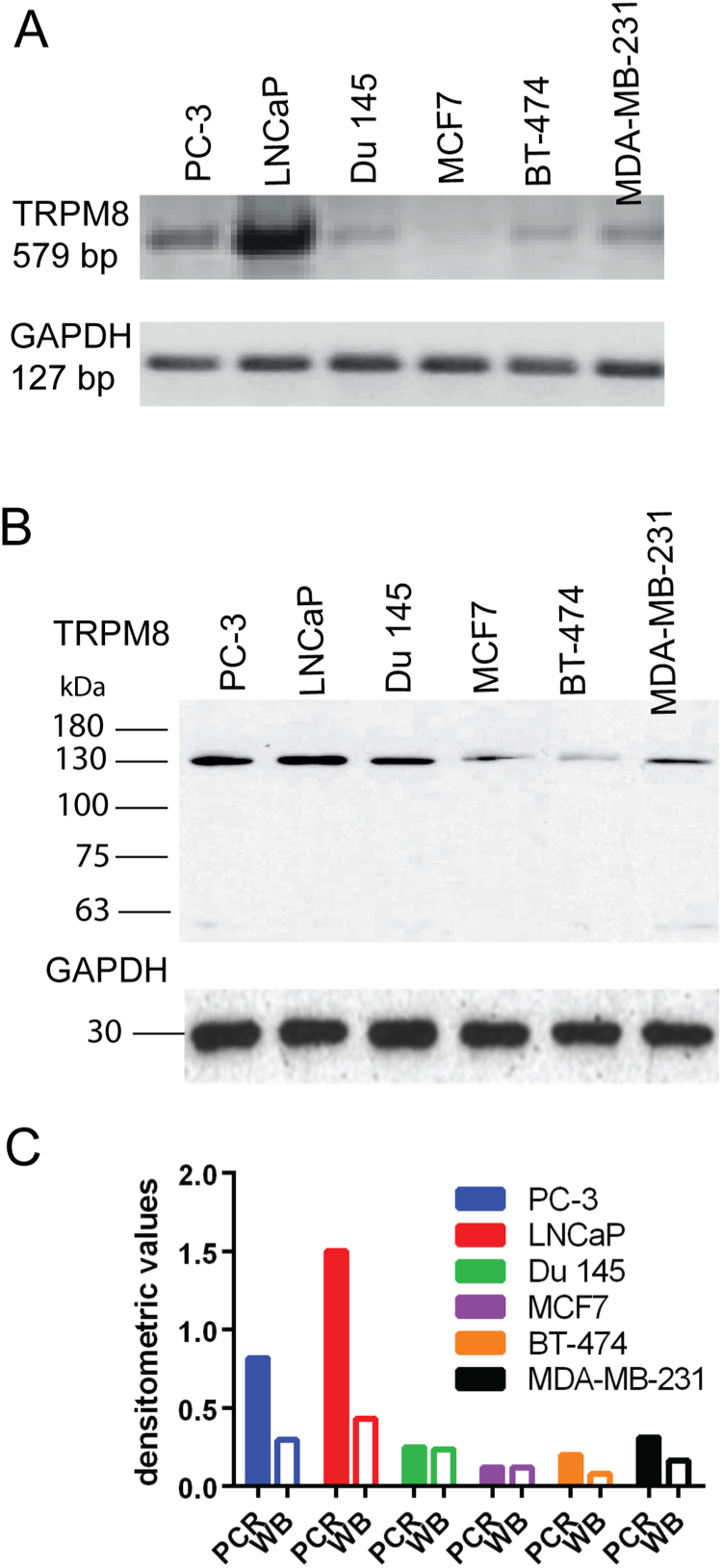 Detection of TRPM8 transcripts and protein in prostate and breast cancer cell lines. A ) Signals for TRPM8 mRNA were found in cell lines derived from prostate cancer-derived (lanes 1–3) and breast cancer-derived (lanes 4–6) cell lines. The normalization with the GAPDH housekeeping control allowed to semi-quantitatively assessing the abundance of the different transcripts present in each sample. B) Signals for TRPM8 protein were detected in all cell lines; the ones for MCF7 and BT-474 were weaker than for the other cell lines (expected mass: 129 kDa). The GAPDH protein signal was used as a loading control. C) Densitometry analysis. The values of TRPM8 expression for mRNA (filled columns) and protein (empty columns) levels were normalized to the values of GAPDH controls.