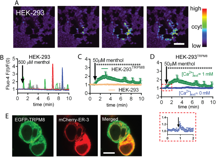 Menthol-evoked responses in HEK-293 cells. A) Time-lapse image series of Ca 2+ waves. The acquisition rate was set to 3 s. Blue and red colors depict lower and higher fluorescence intensities, respectively. A Ca 2+ wave in HEK-293 cells was evoked by administration of 500 µM menthol. Bar represent 100 µm. B) Single-cell (colored traces) and average fluorescence (grey traces) recordings from time-lapse videos show changes in [Ca 2+ ] cyt . Bars represent standard deviations (SD). A Ca 2+ response in HEK-293 cells was evoked by administration of 500 µM menthol. C ) Non-transfected HEK-293 cells didn't respond to 50 µM menthol, but responded, if cells were transfected with a plasmid encoding the human TRPM8 receptor (yellow trace and green traces, respectively). D) Transfected HEK-293 cells showed only very small responses to 50 µM menthol in the absence of extracellular Ca 2+ ions; see magnification of the traces in absence of extracellular Ca 2+ in the boxed red area. This indicates that essentially TRPM8 PM channels are involved in the Ca 2+ responses. C-D ) Traces show average fluorescence values with SD. Asterisks represent significant differences, p