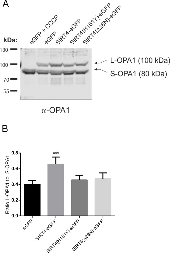SIRT4-eGFP expression stabilizes the mitochondrial fusion regulator L-OPA1 ( A ) The expression of L-OPA1 vs . S-OPA1 was analyzed by immunoblotting in HEK293 cells stably expressing eGFP, SIRT4-eGFP, SIRT4(H161Y)-eGFP, or SIRT4(D28N)-eGFP. As a control for complete proteolytic processing of L-OPA1 to S-OPA1 eGFP-expressing control cells were treated with CCCP (10 μM) for two hours. ( B ) The ratio between the expression levels of L-OPA1 and S-OPA1 was determined by ImageJ-based densitometric analysis. To evaluate statistical significance (compared to eGFP), two-way ANOVA followed by Tukey's tests was performed (**p