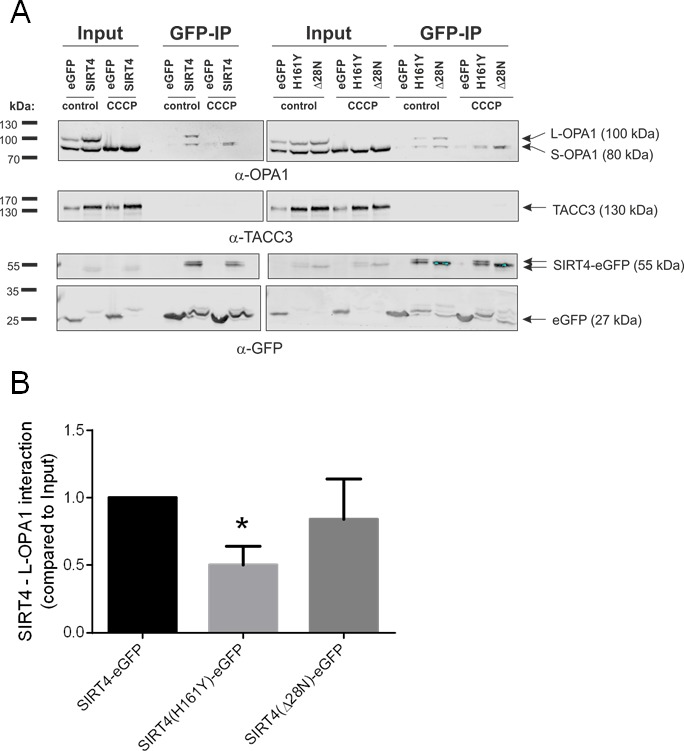SIRT4-eGFP interacts with OPA1 ( A ) HEK293 cells stably expressing SIRT4-eGFP, SIRT4(H161Y)-eGFP, or SIRT4(D28N)-eGFP were either untreated or treated with CCCP (10 μM, 2h) and thereafter subjected to OPA1 co-immunoprecipitation (IP) analysis using sepharose beads coupled anti-GFP single-domain-antibodies (nanobodies). Total cell lysates were loaded as input control (5%). CCCP treatment caused a complete proteolytic processing of L-OPA1 to S-OPA1. TACC3 was detected using specific antibodies and served as a representative negative co-immunoprecipitation control. ( B ) SIRT4 enzymatic activity is required for efficient interaction of SIRT4 with L-OPA1. The amount of L-OPA1 co-immunoprecipitated with SIRT4-eGFP, SIRT4(H161Y)-eGFP, or SIRT4(D28N)-eGFP was determined in relation to the protein input and subjected to ImageJ-based densitometric analysis. To evaluate statistical significance, two-way ANOVA followed by Tukey's tests was performed (*p