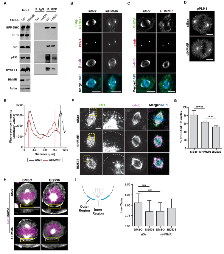 HMMR enables the PLK1-dependent spindle pole positioning pathway. ( A ) Western blot analysis of mitotic HeLa extracts stably expressing DHC-GFP treated with scrambled (siScr) siRNA or siRNA targeting HMMR (siHMMR) subjected to immunoprecipitation with GFP antibody or control IgG and blotted with the indicated antibodies, including GFP (GFP-DHC), dynein intermediate chain (DIC), p150 glued , DYNLL1, HMMR or Actin (four replicates). ( B ) Localization of Flag-Dynein light chain (DYNLL1) in HeLa cells treated with siScr or siHMMR (three replicates). Scale bars, 10 μm. ( C ) Localization of CHICA in cells treated with siScr and siHMMR (three replicates). Scale bars, 10 μm. ( D ) Localization of phospho-PLK1 (pPLK1) in HeLa cells expressing siScr or siHMMR. Scale bars, 5 μm. ( E ) Quantification of pPLK1 intensity from pole to pole. Data represents mean (50 cells from three experiments). ( F ) Astral microtubules contact the cortex in cells treated with siScr, siHMMR, or BI2536 (Plk1 inhibitor). Yellow box indicates EB1 inset and white dotted line indicates region of quantification. Scale bar, 5 μm. ( G ) Quantification of EB1 at the cortex in cells treated with siScr, siHMMR, or BI2536. Data are represented as mean ±SD (***p