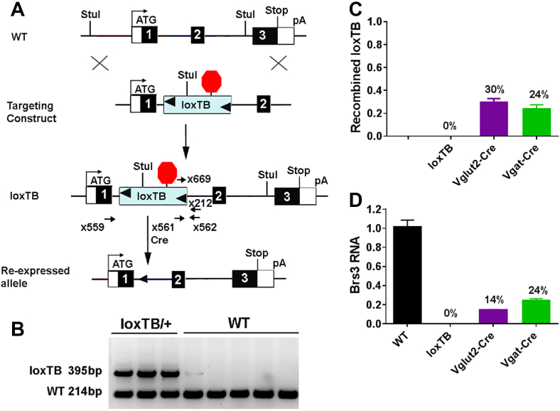 Generation of Brs3 loxTB/y mice. (A) A loxP-flanked transcriptional blocker (loxTB) was inserted in the first intron of Brs3 . Cre recombinase will cause re-expression of Brs3 from the silent Brs3 loxTB allele. (B) PCR (primers x559, x561, and x562) genotyping gives 214 bp wild type (WT) and 395 bp unrecombined loxTB products. (C) The fraction of recombined loxTB DNA was measured by subtracting the unrecombined level in the Cre-expressing mice from that in loxTB mice. PCR (primers x669 and x212) was performed on hypothalamus DNA from Brs3 loxTB/y (loxTB), Brs3 loxTB/y ;Vglut2-Cre (Vglut2-Cre), and Brs3 loxTB/y ;Vgat-Cre (Vgat-Cre) mice. (D) Brs3 RNA in hypothalamus was quantified by RT-PCR (using primers x573 and x574). N = 4–5/group.