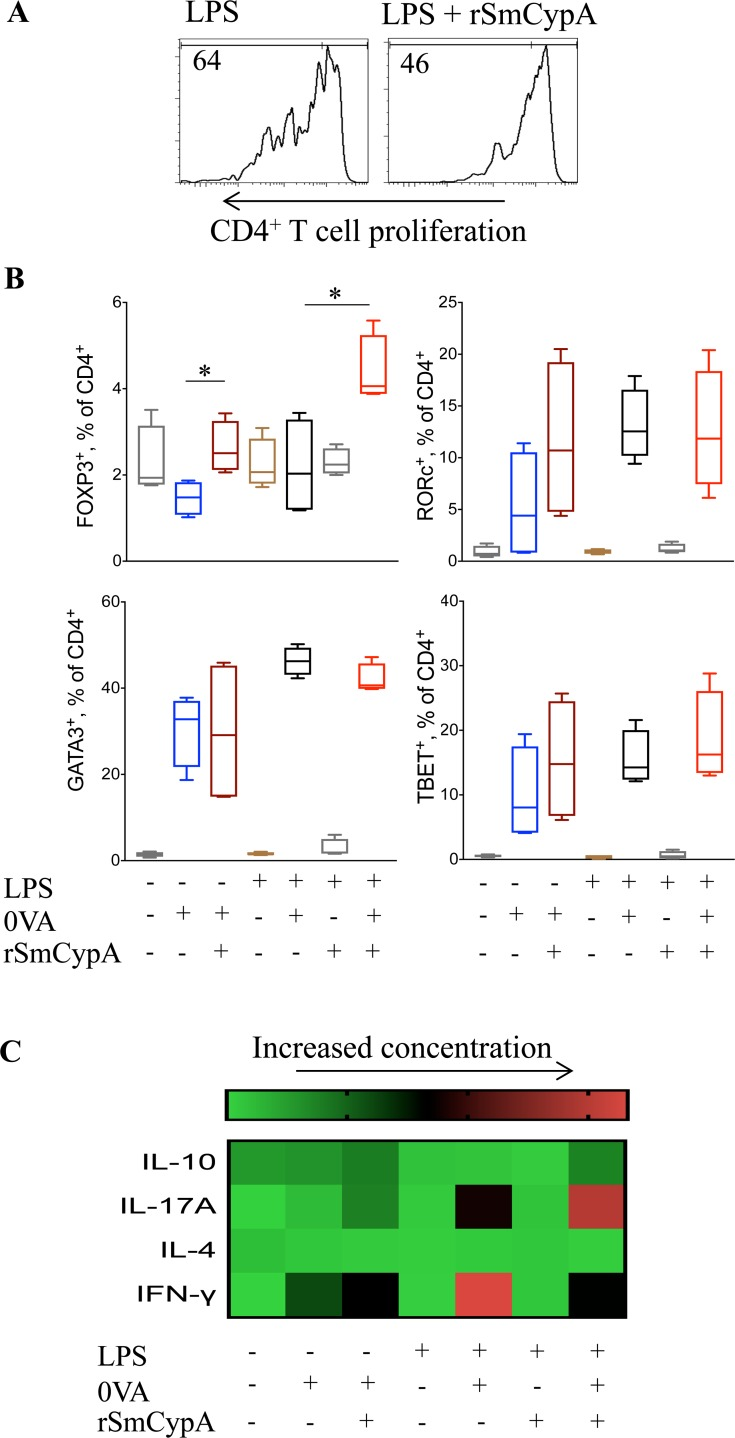 Modulation of CD4 + T cells by SmCypA-treated BMDC. ( A ) Representative histograms from flow cytometric analysis of CFSE labeled TCR OVA CD4 + T cell cultures with OVA and LPS treated or LPS and rSmCypA co-treated BMDC as APC. ( B ) Flow cytometric analysis for the identification of Treg (FOXP3 + ), Th17 (RORc + ), Th2 (GATA3 + ) and Th1 (TBET + ) CD4 + T cells following culture with OVA and BMDC as APC, activated under the outlined conditions, n = 4 per group. ( C ) Heatmap of ELISA for the detection of IL-10, IL-17A, IFN-γ and IL-4 in the supernatant of TCR OVA CD4 + T cells and BMDC co-cultures. BMDC were activated, or not, under the indicated conditions prior to their co-culture with the TCR OVA CD4 + T cells ± antigen (OVA), n = 6 per group. Data are presented as mean and SEM and statistical difference between groups was determined using Student's t test.