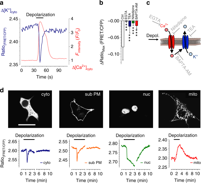 Real-time imaging of intracellular K + fluxes. a Representative single cell K + (blue solid line) and Ca 2+ (red dashed line) response of an INS-1 cell expressing lc-LysM GEPII 1.0 and CAR-GECO1 upon cell depolarization using 70 mM KCl ( n = 9 independent measurements/32 cells/32 cells responded as demonstrated). b Columns represent maximal ∆FRET ratio signals ± SD of INS-1 cells expressing cytosolic lc-LysM GEPII 1.0 upon depolarization under control conditions (ctrl, white bar, n = 17/96), in the absence of extracellular Ca 2+ (1 mM EGTA, black bar, n = 7/50), in the presence of 15 mM TEA (blue bar, n = 6/50), in the presence of 100 µM nifedipine (green bar, n = 6/41), and in cells loaded with BAPTA-AM (red bar, n = 6/53). *** P