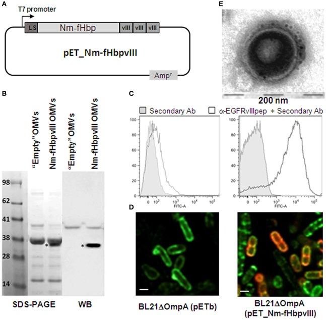 """Expression and surface localization of EGFRvIII epitope in BL21 ΔompA (pET-Nm-fHbpvIII) strain and in its derived outer membrane vesicles (OMVs) . (A) Schematic representation of pET-Nm-fHbpvIII plasmid encoding three copies of EGFRvIIIpep fused to the C-terminus of Neisseria meningitidis fHbp. (B) SDS-PAGE and Western Blot analyses of OMVs. OMVs were purified from BL21 ΔompA (pET21b+) (""""Empty"""" OMVs) and BL21 ΔompA (pET-Nm-fHbpvIII) strains and loaded on SDS-polyacrylamide gels for SDS-PAGE analysis (20 µg OMVs) and Western Blot analysis (1 µg OMVs). After proteins transfer to the nitrocellulose membrane, Nm-fHbp-vIII fusion was visualized using rabbit anti-EGFRvIIIpep antibodies and peroxidase-conjugated anti-rabbit immunoglobulins. (C) Flow cytometry analysis of BL21 ΔompA (pET21b+) and BL21 ΔompA (pET-Nm-fHbpvIII) strains. Bacterial cells were incubated first with anti-EGFRvIIIIpep rabbit antibodies and subsequently with FITC-labeled anti-rabbit secondary antibodies. Fluorescence was measured by flow cytometry. Gray areas represent the background fluorescence signals obtained incubating the cells with the secondary antibody only. (D) Confocal microscopy analysis of BL21 ΔompA (pET21b+) (""""Empty"""" OMVs) and BL21 ΔompA (pET-Nm-fHbpvIII) strains. After induction of protein expression with IPTG, bacterial cells were fixed in 4% formaldehyde solution and incubated first with rabbit anti-EGFRvIIIpep polyclonal antibodies and mouse anti-LPS mAb, and subsequently with goat anti-rabbit IgG, Alexa Fluor 594 conjugated-antibodies (red), and goat anti-mouse IgG, Alexa Fluor 488 conjugated-antibodies (green). (E) Immuno Transmission Electron Microscopy (TEM) analysis of OMVs purified from BL21 ΔompA (pET-Nm-fHbpvIII) strain using primary anti-EGFRvIIIpep rabbit antibodies and 5-nm gold-labeled anti-rabbit secondary antibody (see Materials and Methods for details)."""