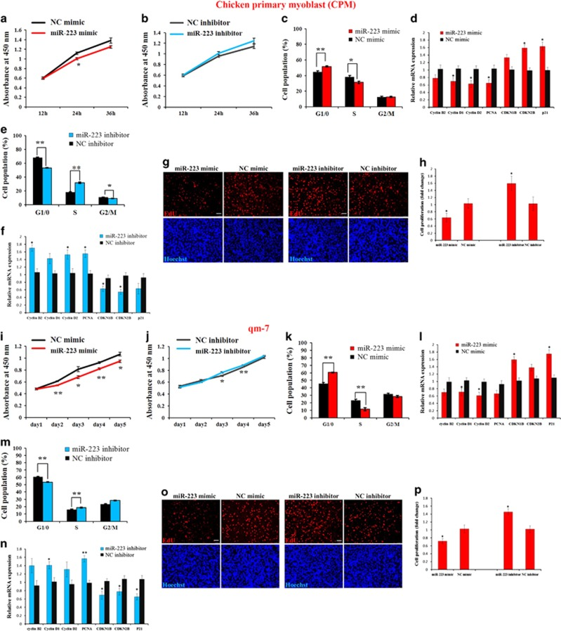 miR-223 inhibits myoblast proliferation. ( a ) CCK-8 assay indicates miR-223 overexpression inhibited chicken primary myoblast (CPM) proliferation. ( b ) CCK-8 assay indicates miR-223 inhibition promoted CPM proliferation. ( c ) CPM was overexpressed with miR-223 and the negative control (NC) mimic, and the cell cycle phase was then analyzed. ( d ) Relative mRNA expression of the cell cycle-related genes after transfection of miR-223 and NC mimic. ( e ) CPM was transfected with miR-223 inhibitor and the NC inhibitor, and the cell cycle phase was then analyzed. ( f ) Relative mRNA expression of the cell cycle-related genes after transfection of miR-223 inhibitor and NC inhibitor. ( g ) EdU staining after transfection of miR-223 mimic and miR-223 inhibitor. Bar, 50 μ m. ( h ) The proliferation rate of myoblasts transfected with miR-223 mimic and miR-223 inhibitor. ( i ) CCK-8 assay showed that miR-223 overexpression inhibited qm-7 proliferation. ( j ) CCK-8 assay showed that miR-223 inhibition promoted qm-7 proliferation. ( k ) qm-7 was overexpressed with miR-223 and the NC mimic, and the cell cycle phase was then analyzed. ( l ) Relative mRNA expression of the cell cycle-related genes after transfection of miR-223 and NC mimic. ( m ) qm-7 was transfected with miR-223 inhibitor and the NC inhibitor, and the cell cycle phase was then analyzed. ( n ) Relative mRNA expression of the cell cycle-related genes after transfection of miR-223 inhibitor and NC inhibitor. ( o ) EdU staining after transfection of miR-223 mimic and miR-223 inhibitor. Bar, 50 μ m. ( p ) The proliferation rate of qm-7 cells transfected with miR-223 mimic and miR-223 inhibitor. Results are shown as the mean±S.E.M. of three independent experiments. Independent sample t -test was used to analysis the statistical differences between groups. * P