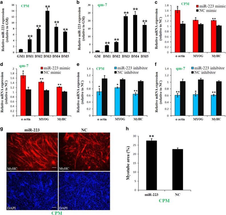 miR-223 promotes myoblast differentiation. ( a ) Relative miR-223 expression during CPM differentiation. ( b ) Relative miR-223 expression during qm-7 differentiation. ( c ) Relative expression of muscle differentiation marker genes after CPM transfected with miR-223 and NC. ( d ) Relative expression of muscle differentiation marker genes after qm-7 transfected with miR-223 and NC. ( e ) Relative expression of muscle differentiation marker genes after CPM transfected with miR-223 inhibitor and NC inhibitor. ( f ) Relative expression of muscle differentiation marker genes after qm-7 transfected with miR-223 inhibitor and NC inhibitor. ( g ) MyHC staining of CPM at 72 h after transfection of miR-223 or NC mimic. ( h ) Myotube area (%) at 72 h after transfection of miR-223 or NC mimic. Results are shown as the mean±S.E.M. of three independent experiments. Independent sample t- test was used to analysis the statistical differences between groups. * P