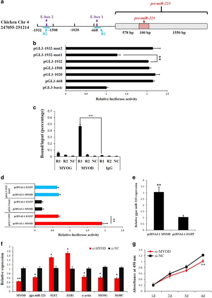 MYOD regulates miR-223 transcription by binding to the E-box 1 region. ( a ) The location of the two E-boxes in the 1932-kb upstream region of the gga-miR-223 gene TSS. ( b ) Identification of the core region in the gga-miR-223 gene promoter by luciferase reporter assays. ( c ) ChIP-qPCR analysis using anti-MYOG, anti-MYOD or chicken IgG antibodies, and the values showed that MYOD could bind to the R1 region of the chicken gga-miR-223 gene in myoblasts. A region from the GAPDH gene was amplified as a NC to verify the specificity of the enrichment. ( d ) MYOD overexpression promoted the relative luciferase activity of the pGL3-1932 reporter in DF-1 cell. ( e ) MYOD overexpression upregulated miR-223 expression in DF-1 cell. ( f) Relative expressions of miR-223 and its downstream genes after transfection of si-MYOD in chicken primary myoblast. ( g ) CCK-8 assay indicated that MYOG loss-of-function significantly reduced myoblast proliferation in chicken primary myoblast. Results are shown as the mean±S.E.M. of three independent experiments. Independent sample t -test was used to analysis the statistical differences between groups. * P