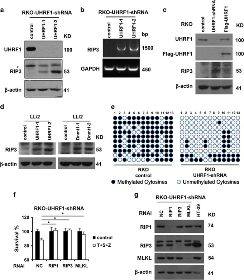 The epigenetic regulator UHRF1 controls epigenetic silencing of RIP3 in cancer cells . ( a ) RKO cells, UHRF1-shRNA stable cell lines were generated as described in the Materials and Methods, and western blotting analysis of lysates from the indicated stable cell lines showing UHRF1, RIP3 and β -actin levels. RKO-UHRF1-shRNA: RKO cells stably expressing a shRNA targeting UHRF1. ( b ) Reverse transcription-PCR products from the indicate cells to detect the Rip3 mRNA. ( c ) Western blotting analysis of lysates from the indicated stable cell lines showing UHRF1, Flag, RIP3 and β -actin levels. Flag-UHRF1: UHRF1-shRNA cells transiently expressing an shRNA-resistant UHRF1. ( d ) RNAi of UHRF1 and Dnmt1 in LL/2 cells. Western blotting analysis of lysates from the indicated stable cell lines showing RIP3 and β -actin levels. ( e ) Methylation status of the CpG-dinucleotides of DNA sequences (−152 to +240 bp) upstream and downstream of RIP3 transcription start site was validated by bisulfite sequencing from the indicated cell lines. ( f ) RKO-UHRF1-shRNA cells were transfected with the control, RIP1 siRNA, RIP3 siRNA or MLKL siRNA. Forty-eight hours post transfection, cells were treated as indicated for additional 48 h. Cell viability was determined by measuring ATP levels. * P