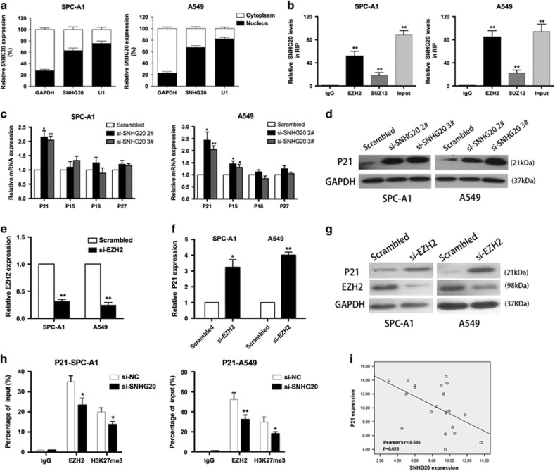 SNHG20 interacted with EZH2, and regulated P21 expression in NSCLC cells. ( a ) SNHG20 expression levels in the cytoplasm or nucleus of SPC-A1 and A549 cells were detected by qRT-PCR. GAPDH was used as a cytosol marker and U1 was used as a nuclear marker. ( b ) RNA immunoprecipitation experiments were performed in SPC-A1 and A549 cells and the coprecipitated RNA was subjected to qRT-PCR for SNHG20. SNHG20 RNA expression levels are presented as fold enrichment in EZH2 and SUZ12 immunoprecipitates relative to that of IgG. ( c ) The expression of p15, p16, P21 and p27 was determined using qRT-PCR after knockdown of SNHG20. ( d ) Western blot analysis was conducted to detect the level of P21 protein in SPC-A1 and A549 cells transfected with si-SNHG20. ( e – g ) qRT-PCR and western blot assays were used to detect EZH2 and P21 mRNA and protein levels in SPC-A1 and A549 cells transfected with si-EZH2. ( h ) ChIP-qRT-PCR of EZH2 occupancy and H3K27me3 binding to the P21 promoter in SPC-A1 and A549 cells treated with si-SNHG20 (48 h) or si-NC; IgG as a negative control. ( i ) Analysis of the relationship between SNHG20 expression and P21 mRNA levels (DCt value) in NSCLC patient tissue from GEO. Values are shown as the mean (S.D.) from three independent experiments. * P