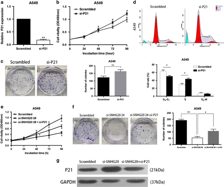 Downregulation of P21 promotes A549 cell proliferation and SNHG20 negatively regulates expression of P21. ( a ) A549 cells were transfected with si-P21. ( b and c ) MTT and colony formation assays were used to determine the cell viability of si-P21-transfected A549 cells. Experiments were performed in triplicate. ( d ) Flow cytometry assays were performed to analyze cell-cycle progression of A549 cells transfected with si-P21. The bar chart represents the percentage of cells in G0–G1, S or G2–M phases, as indicated. ( e and f ) MTT and colony formation assays were used to determine the cell viability of si-SNHG20 and si-P21 co-transfected A549 cells. ( g ) P21 expression was analyzed by western blotting. Values are shown as the mean (S.D.) from three independent experiments. * P