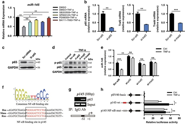 Requirement for NF- κ B-binding site in the regulation of miR-145. ( a ) Expression level of miR-145 in chondrocytes pretreated with MAPK inhibitors (SB203508, SP600125, or PD98059, 10 μ M) or NF- κ B inhibitor (BAY11-7082, 5 μ M) for 2 h and then cultured with or without TNF- α for 12 h. ( b ) The mRNA levels of p65, traf2, and tradd in chondrocytes transfected with p65 siRNA, traf2 siRNA, tradd siRNA, or negative control (scramble siRNA, Scr-siR). ( c ) The protein level of p65 in chondrocytes transfected with p65 siRNA or Scr-siR. ( d ) Immunoblotting of p65 and p-p65 in chondrocytes transfected with siRNAs for p65 , traf2 , or tradd . ( e ) Expression level of miR-145 in chondrocytes transfected as described above and then cultured with or without TNF- α . ( f ) Human, mouse, and rat sequences of putative NF- κ B-binding sites (red) and their flanking regions in miR-145 promoter. ( g ) Binding of NF- κ B subunit p65 to miR-145 promoter was determined by the ChIP assay; normal rabbit IgG was used as the negative control. ( h ) Luciferase activity in lysates of SW1353 cells transfected with luciferase reporter plasmids of empty vector, miR-145 promoter, or miR-145 promoter with mutation of the p65-binding site, and then left unstimulated or stimulated with TNF- α for 12 h. Results were presented relative to Renilla luciferase activity. Data represent the mean±S.E.M. of at least n =4 independent experiments. * P