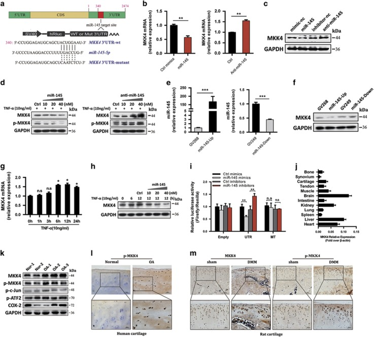 MiR-145 directly targets MKK4. ( a ) A schematic illustrating the design of luciferase reporters with the WT MKK4 3′-UTR or the site-directed mutant MKK4 3′-UTR. ( b and c ) Expression level of MKK4 in chondrocytes transfected with miR-145 mimics, inhibitor or their negative controls. ( d ) Immunoblotting of MKK4 and p-MKK4 in chondrocytes transfected at different doses (10, 20, and 40 nM) and then stimulated with <t>TNF-</t> α . ( e and f ) Expression level of miR-145 and MKK4 in chondrocytes transfected with miR-145 overexpression plasmid, inhibition plasmid or empty plasmids (GV268, GV249). ( g ) The mRNA level of MKK4 in chondrocytes stimulated with TNF- α for different time points. ( h ) Immunoblotting of MKK4 in chondrocytes transfected with miR-145 mimics at different doses (10, 20, and 40 nM) and then stimulated with TNF- α . ( i ) Effect of miR-145 mimics or inhibitor on the luciferase activity of WT MKK4 3′-UTR (UTR) or MUT MKK4 3′-UTR (MT) reporter in SW1353 cells. ( j ) MKK4 expression level in different tissues from rat. ( k ) Immunoblotting of MKK4 and its downstream molecules in cartilage samples from OA patients ( n =3) or normal controls ( n =2). ( l and m ) Immunostaining of MKK4 and p-MKK4 in human ( n =6) and DMM-operated rat OA cartilage ( n =6). Scale bar: × 100, 50 μ m; × 200, 20 μ m. Data represent the mean±S.E.M. of at least n =4 independent experiments. * P