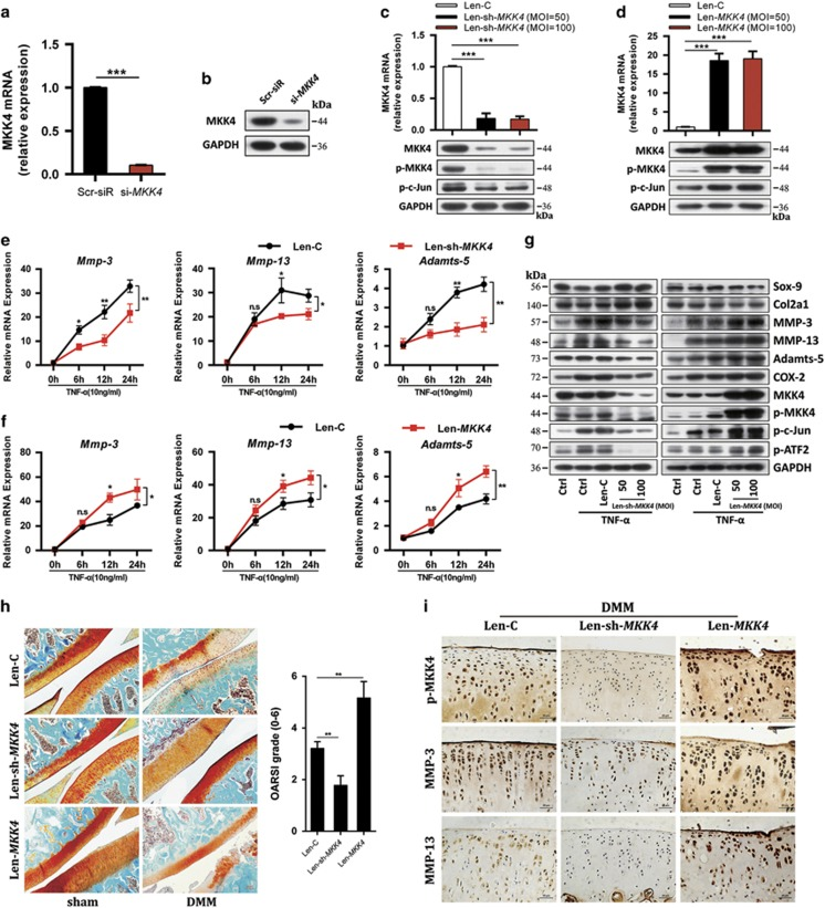 MKK4 regulates TNF- α -triggered matrix-degrading enzymes and cartilage degradation. ( a and b ) The mRNA and protein levels of MKK4 in chondrocytes transfected with Scr-siR or MKK4 siRNA (#1). ( c and d ) The mRNA level of MKK4 and protein levels of MKK4, p-MKK4, and p-c-Jun in chondrocytes infected with Len-C (lentivirus containing empty vector), Len-sh- MKK4 (lentivirus containing sh- MKK4 ), or Len- MKK4 (lentivirus containing the entire CDS sequence of MKK4 ) at the indicated multiplicity of infection (MOI=50 or 100). ( e – g ) Chondrocytes were infected with Len-C, Len-sh- MKK4 , or Len- MKK4 (100 MOI). At 48 h after infection, the cells were stimulated with TNF- α . The mRNA levels of MMP-3, MMP-13, and Adamts-5 were evaluated by qRT-PCR. The protein levels of catabolic factors, anabolic factors, MKK4, and its downstream molecules were measured by immunoblotting. ( h ) Safranin-O staining and OARSI grade in sham- and DMM-operated rat IA injected with Len-C, Len-sh- MKK4 , or Len- MKK4 ( n =8). Scale bar: 50 μ m. ( i ) Immunostaining of p-MKK4, MMP-3, and MMP-13 in cartilage tissue of sham-operated and DMM-operated rat IA injected with Len-C, Len-sh- MKK4 , or Len- MKK4 ( n =8). Scale bar: 20 μ m. Data represent the mean±S.E.M. of at least n =4 independent experiments. * P