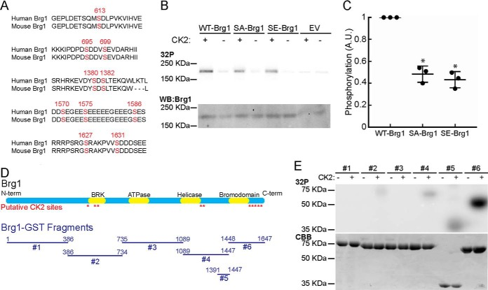 Brg1 is phosphorylated in vitro by CK2. A, schematic representation of the location of the putative sites for CK2 phosphorylation identified by NetphosK ( 9 , 20 ). B, representative autoradiograms of in vitro CK2-treated WT-, SA-, and SE-Brg1 ( top ). A representative Western blot detecting Brg1 is shown for comparison ( bottom ). EV, empty vector. C, Brg1 labeling was quantified by normalizing autoradiography signals to the Western blotting for Brg1. Data represent the average of three independent experiments ± S.D.; *, p