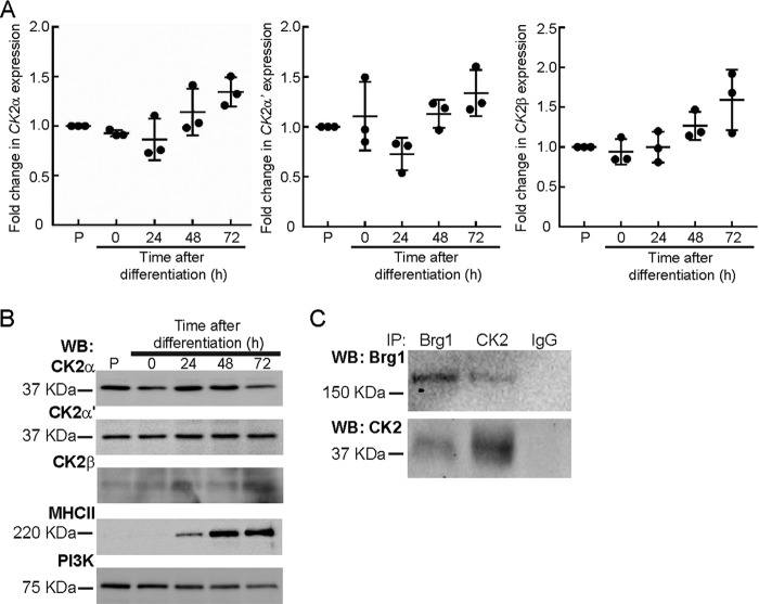 Brg1 and CK2 interact in primary myoblasts. Gene ( A ) and protein ( B ) expression of CK2α, CK2α′, and CK2β do not change over the course of differentiation of primary myoblasts. Expression in proliferating ( P ) primary myoblasts was set at 1. Data represent the average of three independent experiments, each assayed in triplicate ± S.D. Observed differences were not statistically significant. MHC II levels are shown as a differentiation control, and PI3K levels are shown as a loading control for the Western blots ( WB ). C, Brg1 and CK2 interact in proliferating primary myoblasts. A representative Western blot of the reciprocal immunoprecipitations ( IP )of Brg1 and CK2α is shown. Pulldown with IgG was used as a negative control.