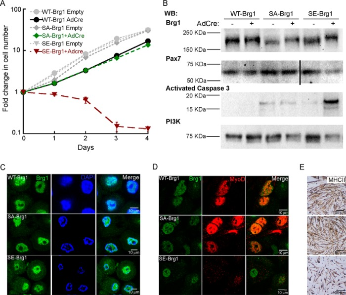 Phosphomimetic mutations in Brg1 inhibit proliferation and reduce viability of primary myoblasts. A, proliferation assay of Brg1-deficient (Brg1 c/c) cells transduced with WT-, SA-, or SE-Brg1. Data represent the average of three independent experiments ± S.D. B, representative Western blots ( WB ) showing the expression of Brg1, Pax7, activated caspase 3, and PI3K as a loading control. C, representative confocal microscopy images showing nuclear localization of WT-, SA-, and SE-Brg1 expressed in proliferating primary myoblasts. D, representative confocal microscopy images of primary myoblasts transduced with the WT-, SA-, and SE-Brg1 mutants that were differentiated for 48 h and immunostained for Brg1 and MyoD. E, representative light microscopy images of the phenotypes observed when myoblasts expressing the indicated Brg1 protein were differentiated for 48 h; cells were immunostained using an anti-myosin heavy chain II ( MHCII ) antibody.