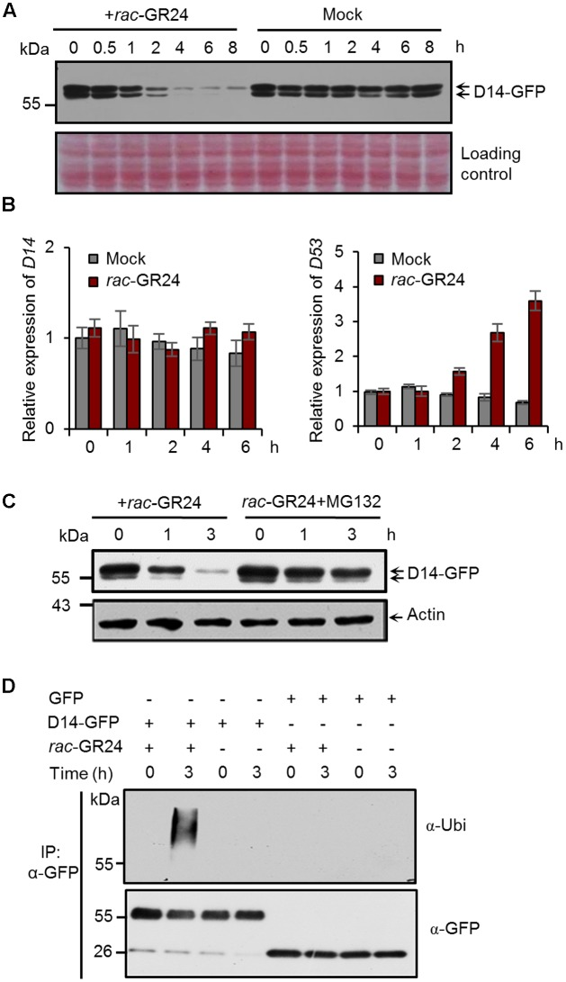 Strigolactones (SLs) promote ubiquitination and degradation of D14 in rice. (A) Protein levels of D14-GFP in calli of the Act:D14-GFP/d14 transgenic line at different time points after 20 μM rac -GR24 treatment with DMSO as a control. D14-GFP was detected by immunoblotting with an anti-GFP monoclonal antibody. Relative protein levels were determined by densitometry and normalized to loadings determined by Ponceau staining (red) in the immunoblotting analyses. (B) Relative expression levels of D14 and D53 in 2-week-old seedlings after 5 μM rac -GR24 treatment. Values represent means ± SEM, n = 3. (C) D14-GFP protein levels in calli of the D14-GFP/d14 transgenic line at different time points after rac -GR24 treatment in the presence or absence of <t>MG132.</t> Calli are pretreated with 50 μM MG132 for 1 h and then treated with 20 μM rac -GR24 or DMSO for 3 h. D14-GFP was detected by immunoblotting with an anti-GFP monoclonal antibody. Actin1 were used as loading control in the immunoblotting analyses. (D) Ubiquitination analysis of D14-GFP in rice protoplasts. Rice (Nipponbare) protoplasts were transformed with 35S:D14-GFP plasmids and incubated for 12 h, then pretreated with 50 μM MG132 for 1 h and immediately treated with 20 μM rac -GR24 or DMSO for 3 h. Proteins were extracted for affinity purification with an agarose-immobolized anti-GFP monoclonal antibody and followed by immunoblotting analysis with an anti-ubiquitin (upper panel) or anti-GFP (lower panel) monoclonal antibody.