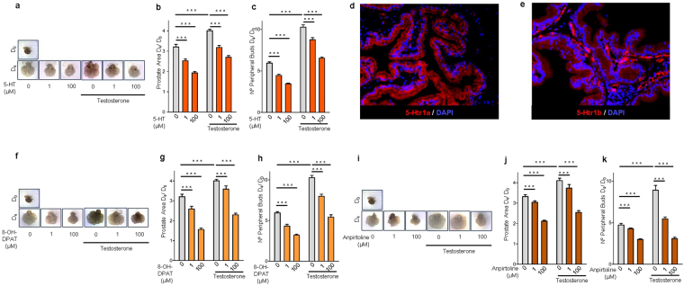 5-HT, 5-Htr1a specific agonist and 5-Htr1b specific agonist inhibit prostate branching morphogenesis. ( a ) Photographs of representative VPs at D 0 and at D 4 of culture treated with different 5-HT concentrations. ( b ) Morphometric analysis of the effect of 5-HT on VPs area and ( c ) number of peripheral buds ( n ≥ 12 VPs per group). ( d ) Immunofluorescence analysis of 5-Htr1a and ( e ) 5-Htr1b expression in the rat prostate. ( f ) Photographs of representative VPs at D0 and at D4 of culture treated with different 8-OH-DPAT concentrations. ( g ) Morphometric analysis of the effect of 8-OH-DPAT on VPs area and ( h ) number of peripheral buds ( n ≥ 12 VPs per group). ( i ) Photographs of representative VPs at D0 and at D4 of culture treated with different anpirtoline concentrations. ( j ) Morphometric analysis of the effect of Anpirtoline on VPs area and ( k ) number of peripheral buds ( n ≥ 12 VPs per group). Error bars indicate s.e.m. *** p