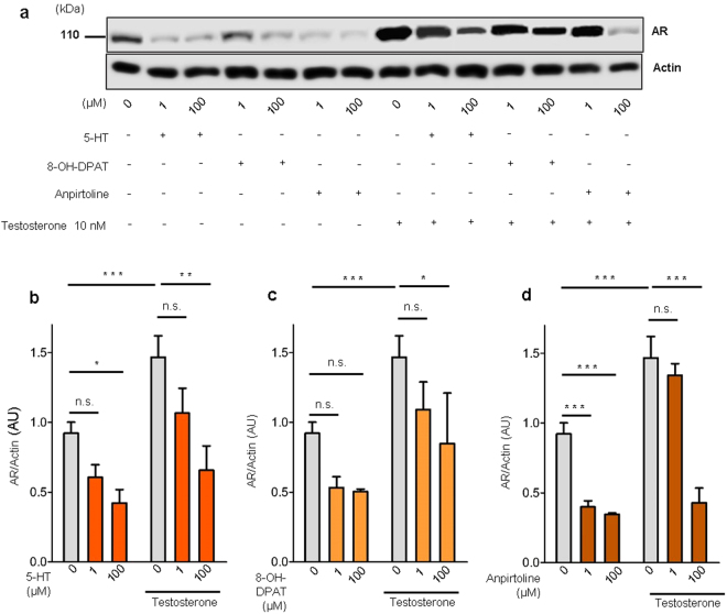 5-HT, 5-Htr1a specific agonist and 5-Htr1b specific agonist down-regulates AR expression in rat ventral prostate. ( a ) Western blot analysis of AR expression in prostate explants treated with increasing doses of 5-HT, specific 5-Htr1a agonist, 8-OH-DPAT, and specific 5-Htr1b agonist, anpirtoline. ( b ) Quantification of AR protein in VPs treated with different concentrations of 5-HT in medium conditions without or with testosterone supplementation, n ≥ 3 (each sample contained a pool of 4 VPs). ( c ) Quantification of AR protein in VPs treated with different concentrations of 8-OH-DPAT in medium conditions without or with testosterone supplementation, n ≥ 3 (each sample contained a pool of 4 VPs). ( d ) Quantification of AR protein in VPs treated with different concentrations of Anpirtoline in medium conditions without or with testosterone supplementation, n ≥ 3 (each sample contained a pool of 4 VPs). Error bars indicate s.e.m. n.s . non-significant; * p