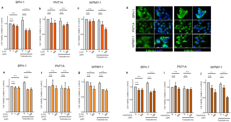 5-HT, 5-Htr1a specific agonist and 5-Htr1b specific agonist inhibits cell viability in BPH-1 and WPMY-1 human prostatic cells without any effect in PNT1A cells. ( a , b , c ) Effect of 5-HT on cell viability analyzed by MTS assay in BPH-1, PNT1A and WPMY-1 cells. ( d ) Immunofluorescence analysis of 5-Htr1a and 5-Htr1b expression in BPH-1, PNT1A and WPMY-1 cells. ( e , f , g ) Effect of 5-Htr1a specific agonist, 8-OH-DPAT, and ( h , i , j ) 5-Htr1b specific agonist, Anpirtoline, on cell viability analyzed by MTS assay in BPH-1, PNT1A and WPMY-1 cells. The data are expressed relative to control condition (0 µM 5-HT without testosterone supplementation) and were reproduced in at least three independent experiments. Error bars indicate s.e.m. n.s . non-significant; 5-HT, serotonin; * p