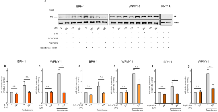 5-HT, 5-Htr1a specific agonist and 5-Htr1b specific agonist down-regulates AR expression in human prostatic cells. ( a ) Western blot analysis of AR expression in the three cell lines after 5-HT, 8-OH-DPAT and anpirtoline treatment. ( b ) Quantification of AR in BPH-1 and ( c ) WPMY-1 cells after 5-HT treatment in medium conditions without or with Testosterone supplementation. ( d ) Quantification of AR protein levels in BPH-1 and ( e ) WPMY-1 cells after 8-OH-DPAT treatment in medium conditions without or with Testosterone supplementation. ( f ) Quantification of AR protein levels in BPH-1 and ( g ) WPMY-1 cells after Anpirtoline treatment in medium conditions without or with Testosterone supplementation. The data are expressed relative to control condition (0 µM 5-HT without testosterone supplementation) and were reproduced in at least three independent experiments. Full, uncropped gel images are shown. Error bars indicate s.e.m. n.s . non-significant; * P