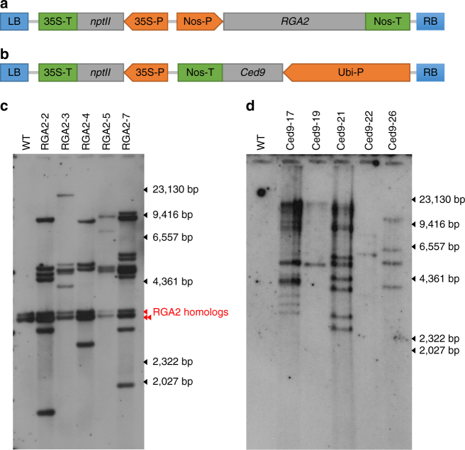Transgene expression cassettes and Southern analysis of selected transgenic lines. a RGA2 and b Ced9 expression cassettes. LB, left border; RB, right border. Determination of transgene copy number in c RGA2 and d Ced9 transgenic banana lines by Southern blot analysis. Genomic DNA from WT, RGA2 and Ced9 lines was digested with Hin dIII and Xma I, respectively. DNA molecular weight marker II (Roche) reference is indicated on the right hand side