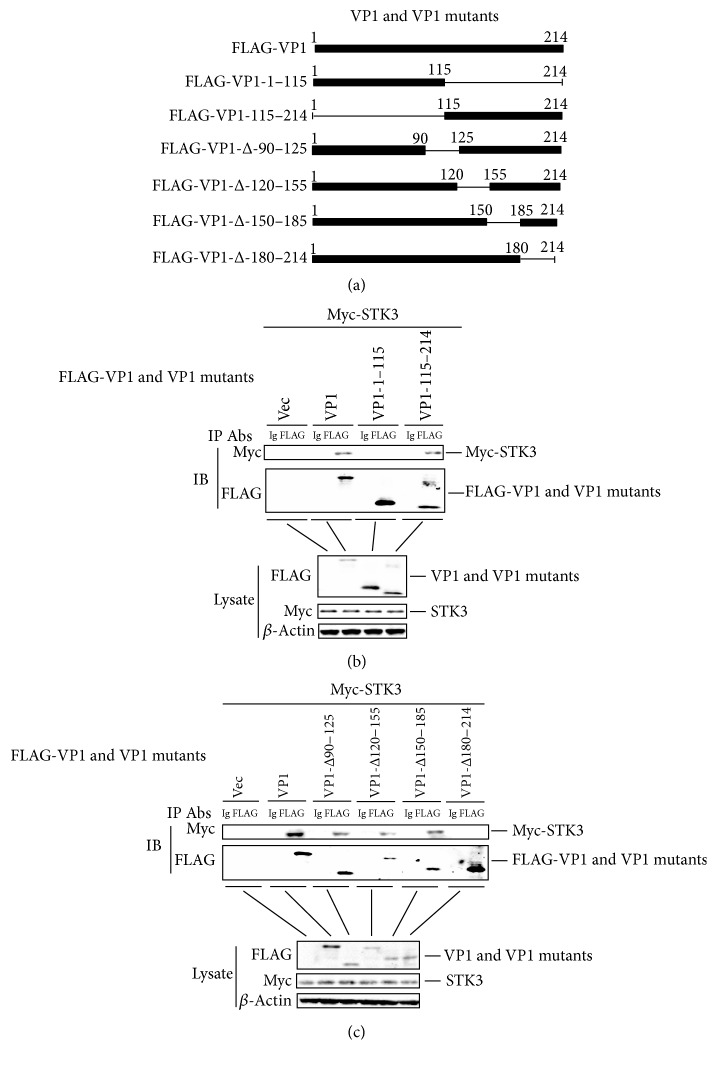 STK3 interacts with VP1 truncated mutants. (a) Schematics showing a series of FLAG-tagged truncated VP1 mutants. (b) HEK-293T cells were seeded in a 10-cm dish, and the monolayer cells were transfected with 8 μ g of a Myc-STK3 expressing plasmid, 8 μ g of a FLAG-VP1 expressing plasmid, 8 μ g of FLAG-VP1 mutants expressing plasmids, or 8 μ g of an empty FLAG vector. The cells were lysed at 24 hpt. The lysates were immunoprecipitated with mouse anti-FLAG or mouse IgG antibodies and subjected to western blotting. The immunoprecipitated antibody-antigen complexes and whole-cell lysates were analyzed by anti-FLAG, anti-Myc, or anti- β -actin antibodies. (c) Similar transfection and immunoprecipitation experiments were performed as described above.