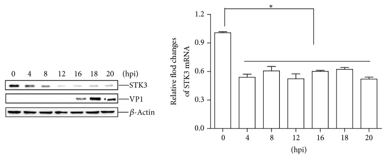 FMDV infection decreases the abundance of the endogenous <t>STK3</t> protein. PK-15 cells were seeded in 3.5 cm dish, and the monolayer cells were infected with FMDV (MOI 0.5). The cells were collected at the indicated time points (0, 4, 8, 12, 16, 18, and 20 h). The expression of STK3 mRNA was determined by qPCR assay (b). The expression of endogenous STK3 and viral VP1 proteins was determined by western blotting (a).